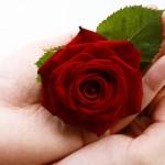 Rosa oferecida